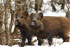 Two curious wild boars Stock Images