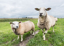 Two curiously looking sheep Stock Photography