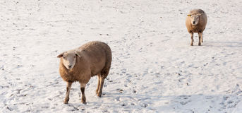 Two curiously looking sheep in the snow. Two sheep in a snowy meadow looking curiously at the photographer. It is almost evening and the setting sun causes long Stock Images