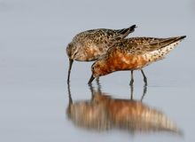 Two curlew sandpiper Calidris ferruginea Royalty Free Stock Images