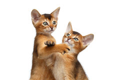 Two Cute Abyssinian Kitten Playing on Isolated White Background Royalty Free Stock Photography