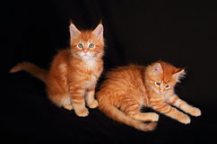 Two cute adorable red solid maine coon kitten lying with beautif. Ul brushes on the ears on black background and looking funny Stock Photography