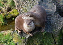 Two cute affectionate Otters sitting together stock images
