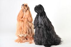 Two Cute American Cocker Spaniels In The Studio On A White Background Stock Image