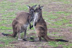Two cute australian Kangaroo standing in the field and waiting. Two cute australian Kangaroo standing in the field royalty free stock image