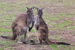 Two cute australian Kangaroo standing in the field and waiting. Two cute australian Kangaroo standing in the field stock image