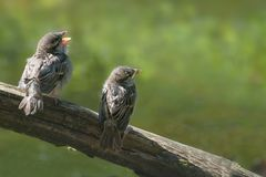 Two cute baby birds, house sparrow fledglings Passer domesticus. On a branch calling for food against a blurry green background, copy space, selected focus Stock Photo