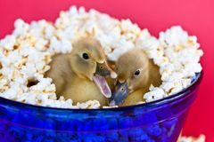 Two cute baby ducklings nestled in a bowl of popcorn with one quacking stock photo