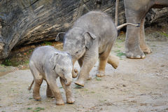 Two cute baby elephants in fun game Stock Photography