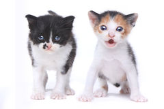 Two Cute Baby Kittens on White Background Royalty Free Stock Photo