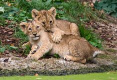 Two cute baby lions stock images