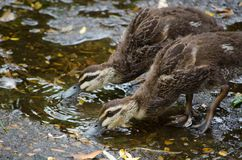 Two baby Pacific Black Ducks drinking water from the ground. A two cute baby Pacific Black Ducks drinking water from the ground stock photography