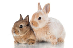 Two cute baby rabbits sitting together Royalty Free Stock Images