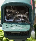 Two cute baby raccoons hiding in a mailbox. stock photo
