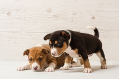 Two cute basenji puppies. Studio portrait of couple of cute small african breed dogs. Two cute basenji puppies royalty free stock photography