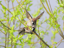 Two cute birds in love spring Sparrow on the branches of trees Stock Photos