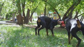 Two Cute black doberman Dog playing on the grass