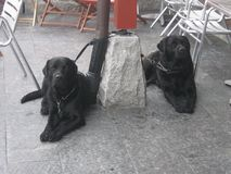 Two cute black lab retrievers. A picture of two cute black lab retrievers waiting for its owners taken in Trysil Norway during a skiingtrip Stock Photo