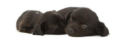 Two Cute Black Puppies Sleeping Cuddling Stock Photos