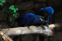 Two cute blue parrots kissing each other. Two lovely blue parrots sharing one tree branch and kissing each other in the zoo a stock images