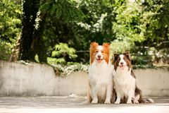 Two cute border collie dogs ain park. green on background. Portrait two cute border collie dogs ain park. green on background stock image