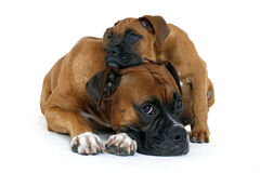 Two cute boxers royalty free stock photo