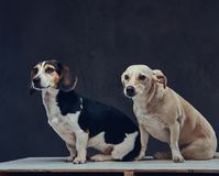 Portrait of two cute breed dog on a dark background in studio. Stock Photography