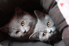 Sleepy heads of British shorthair stock photo