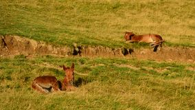 Two cute brown foals lie on pasture in field and relax at dawn. On hill slope with partly dried grass in late August. Shot in late summer in Carpathian stock video footage
