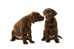 Two cute brown labrador retriever puppies sitting talking to each other Stock Photos