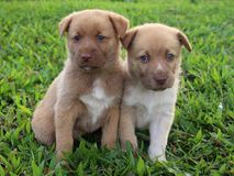 Two cute brown puppies sitting together. Two cute New Guinea Singing Dog mix puppies with pink noses and blue eyes sit together outside in the grass royalty free stock image