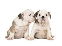 Two cute brown and white english bulldog puppy dogs sitting together one looking at the camera one looking at the other puppy like. Whispering in its ear stock images