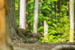 Two cute brown and yellow striped piglets of wild boar royalty free stock photography