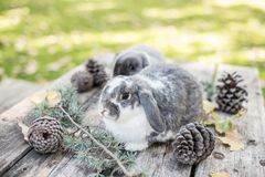 Two cute bunnies pet walking on a wooden table with pines outdoo Stock Photo
