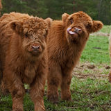 Two cute calf of highland cattle in Sweden. Three and four week old Highland cattle or kyloe in Sweden are an ancient Scottish breed of beef cattle with long Stock Photos