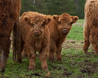 Two cute calf of highland cattle. Three week and four week old Highland cattle or kyloe in Sweden are an ancient Scottish breed of beef cattle with long horns Stock Photography