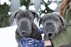 Two cute cane corso six month puppies stock images