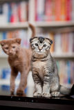 Two cute cats. Portrait of two cute cats indoors with bookshelf in background royalty free stock photo