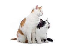 Two cute cats Royalty Free Stock Image