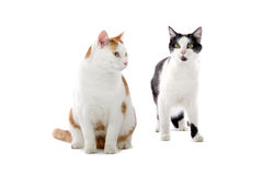 Two cute cats. Close up of two cute cats isolated on white background royalty free stock photography