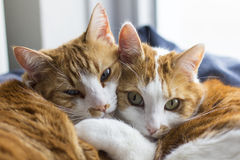 Two cute cats cuddling. Two cute red white cats cuddling in their basket stock image