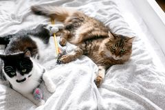 Two cute cats playing with toys and mouse on white bed in sunny bright stylish room. Funny maine coon and black and white cat with. Moustache relaxing on stock photos