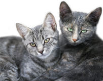 Two cute cats portrait Royalty Free Stock Images