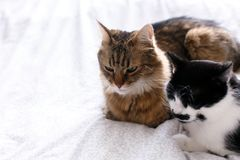 Two cute cats sitting and relaxing on white bed in sunny stylish room. Maine coon and cat with moustache resting with funny. Emotions on comfortable bed royalty free stock photos