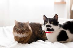 Two cute cats sitting and relaxing on white bed in sunny stylish room. Maine coon and cat with moustache resting with funny. Emotions on comfortable bed stock image
