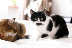 Two cute cats sitting and relaxing on white bed in sunny stylish room. Maine coon and cat with moustache resting with funny. Emotions on comfortable bed royalty free stock image