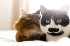 Two cute cats sitting and relaxing on white bed in sunny stylish room. Maine coon and cat with moustache resting with funny. Emotions on comfortable bed royalty free stock images