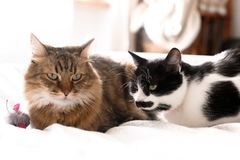 Two cute cats sitting with toy mouse on white bed in sunny stylish room.Maine coon and black and white cat with moustache relaxing. With funny faces on royalty free stock photo