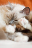 Two cute cats sleeping Stock Image