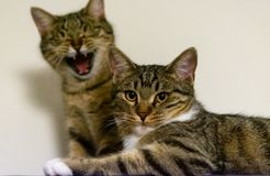 Two cute cats staring at the camera royalty free stock photos